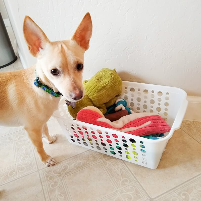 Chihuahua standing over bin of dog toys